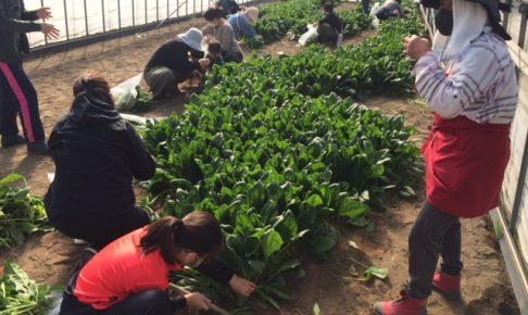 ボナペティ 久留米 フードドライブ ほうれん草収穫